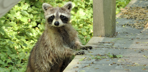 how-deal-raccoon-damage-home-1